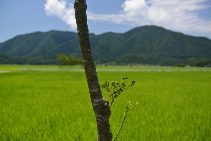 盛夏の水田-4