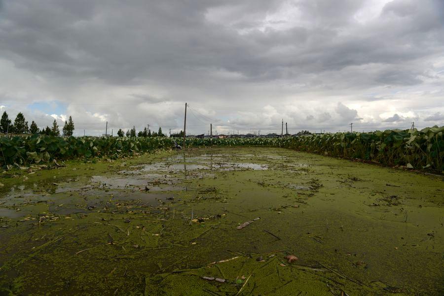 レンコン畑-1