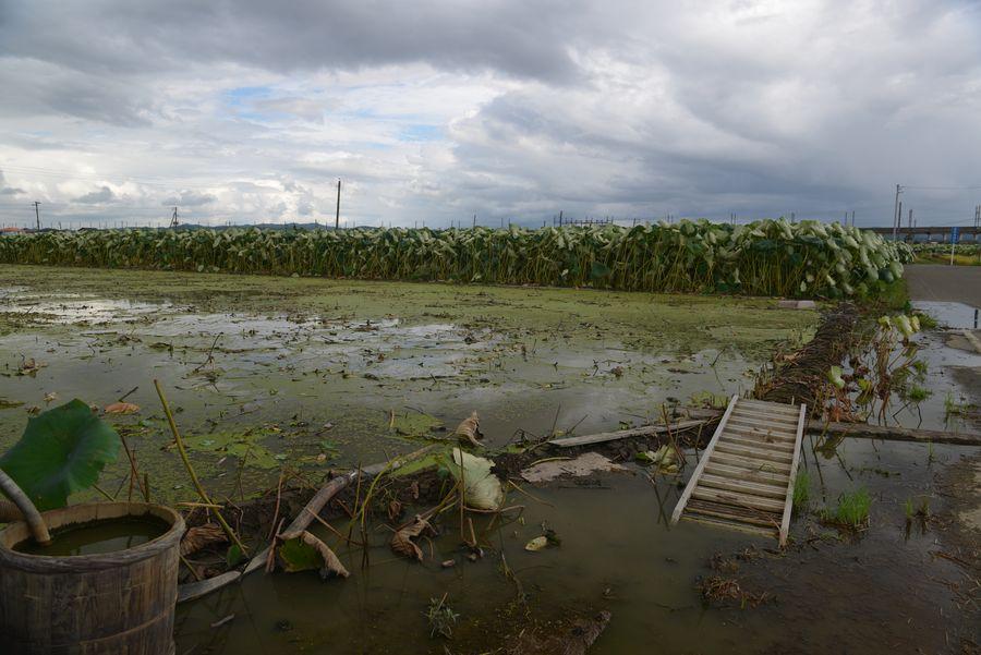 レンコン畑-2