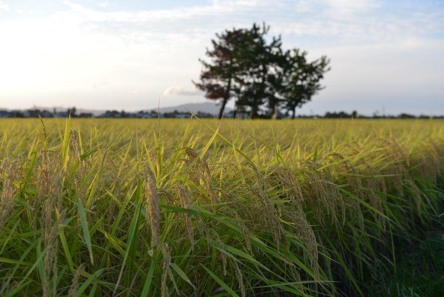 収穫期-4