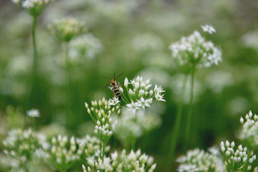 白い花と蜂-3