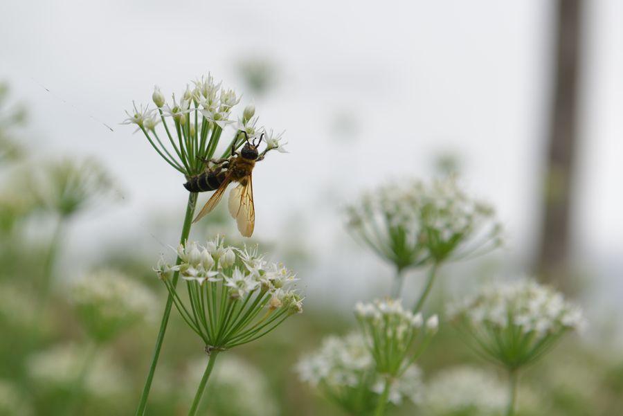 白い花と蜂-4