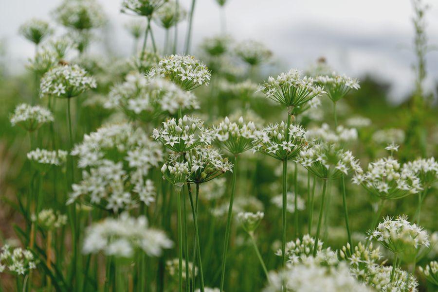 白い花と蜂-5