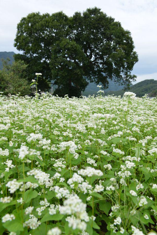 蕎麦の花-2