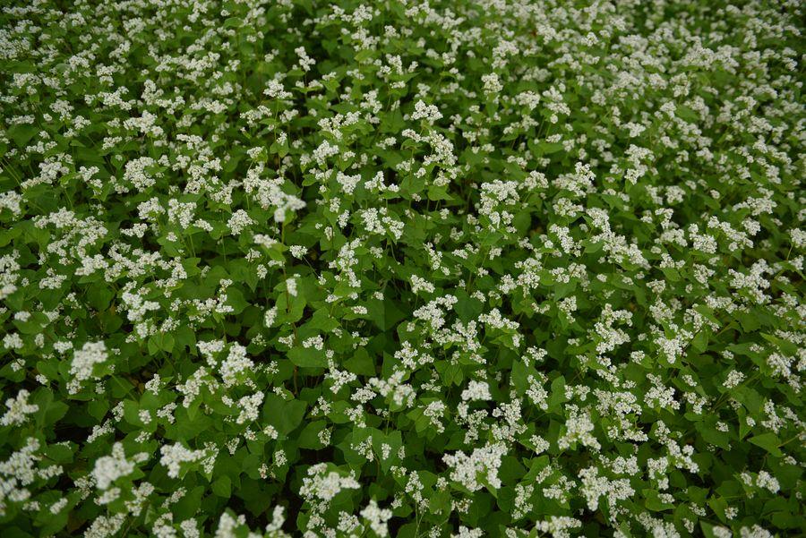 蕎麦の花-3