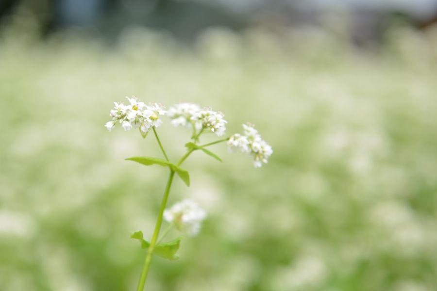 蕎麦の花-4