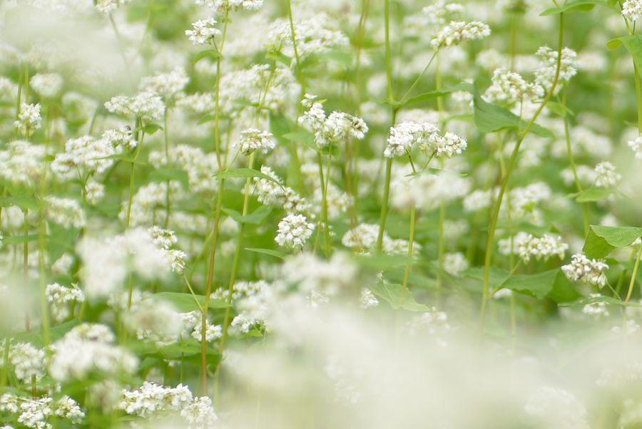 蕎麦の花-5