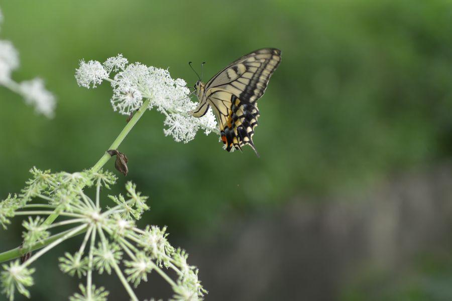 花に蝶-7