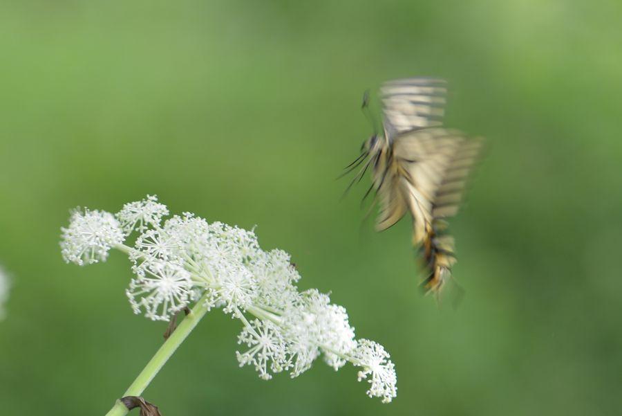 花に蝶-3