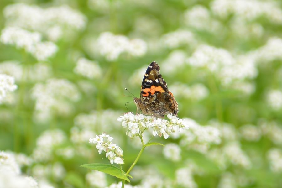 花に蝶-6