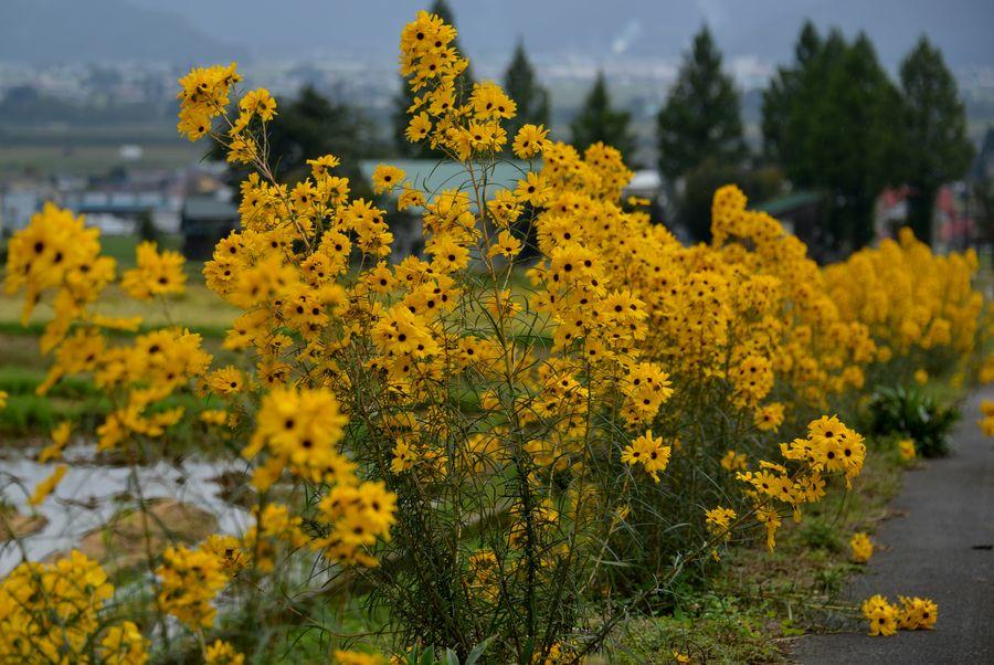 黄色い花-1