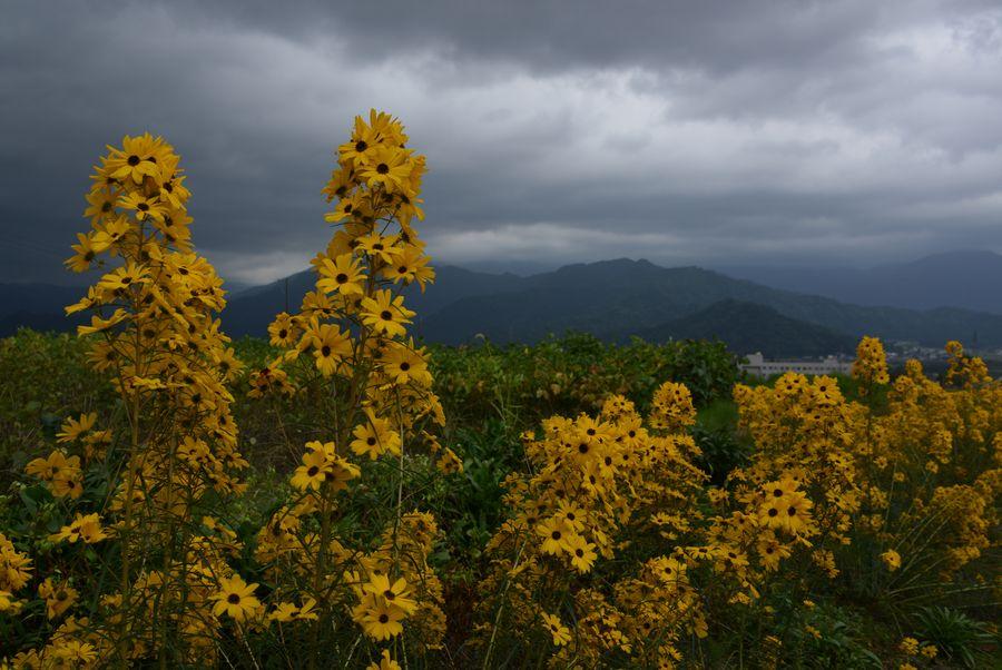 黄色い花-2