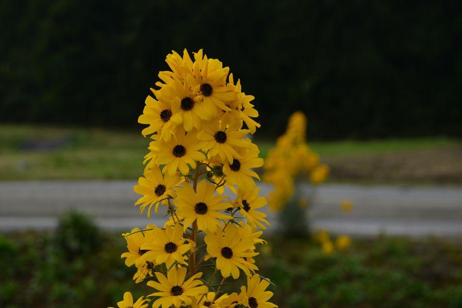 黄色い花-3