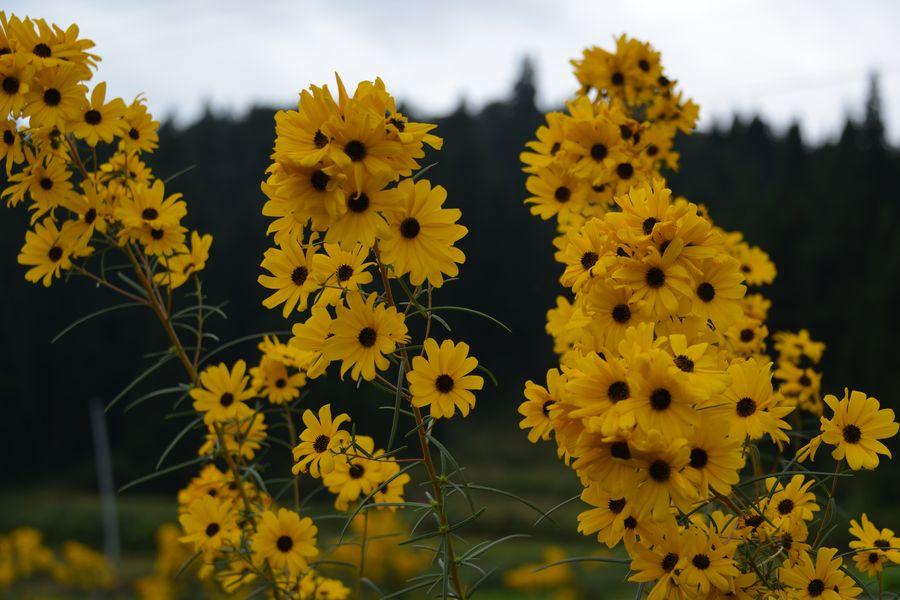 黄色い花-5