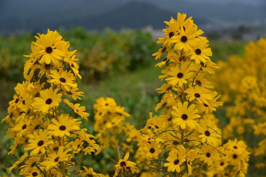 黄色い花-6