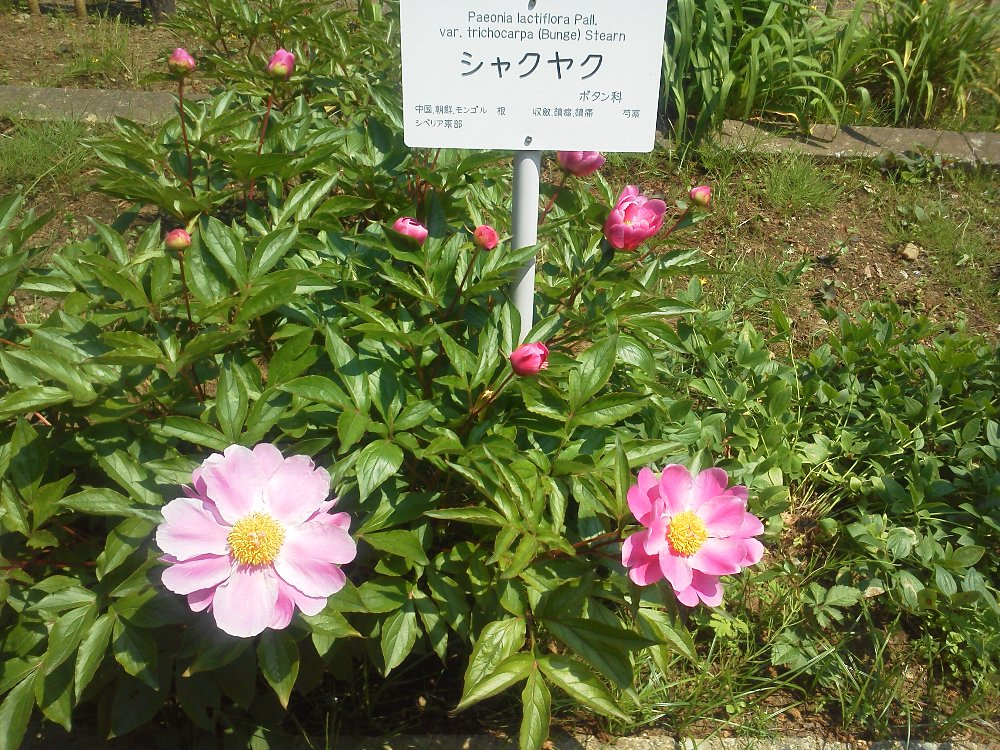 F1000798小石川植物園シャクヤク