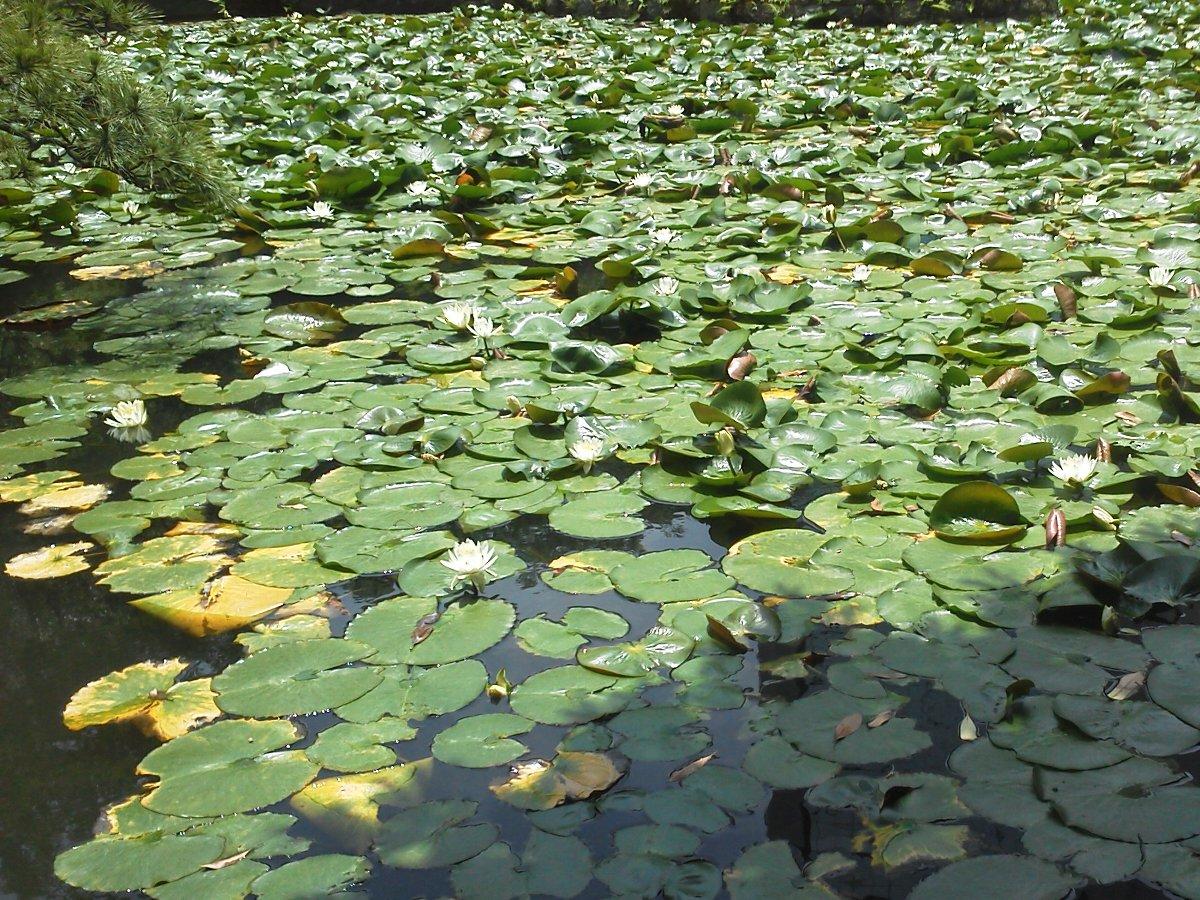 F1000075小石川後楽園内庭 満開の蓮池