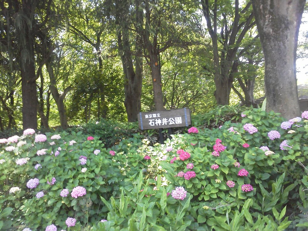 F1000021石神井公園アジサイ