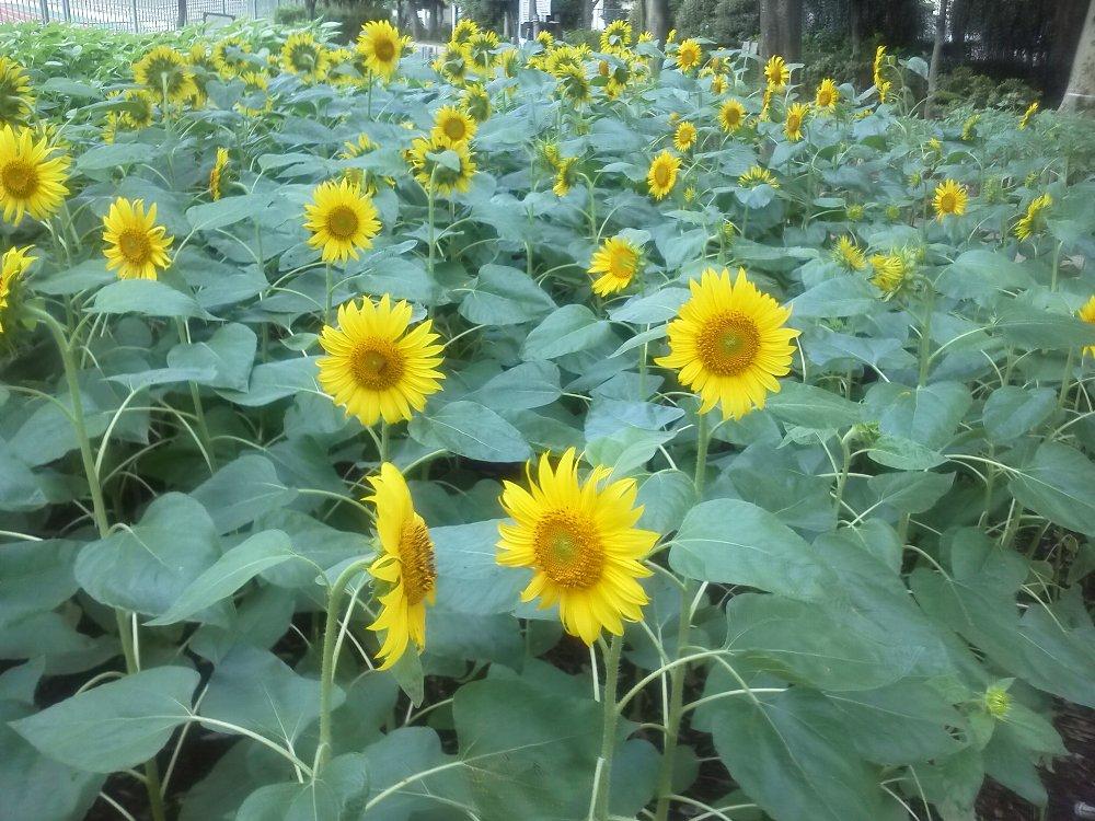 F1000288朝霞中央公園ヒマワリ畑