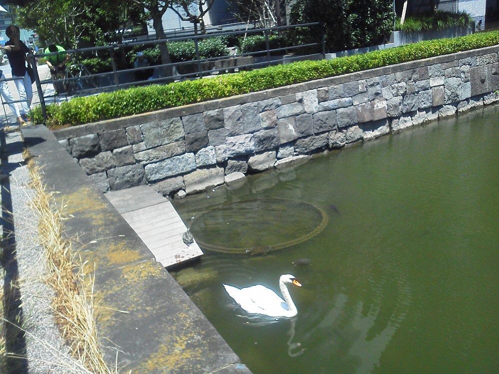 F1000333内堀通り和田倉濠のハクチョウと亀たち