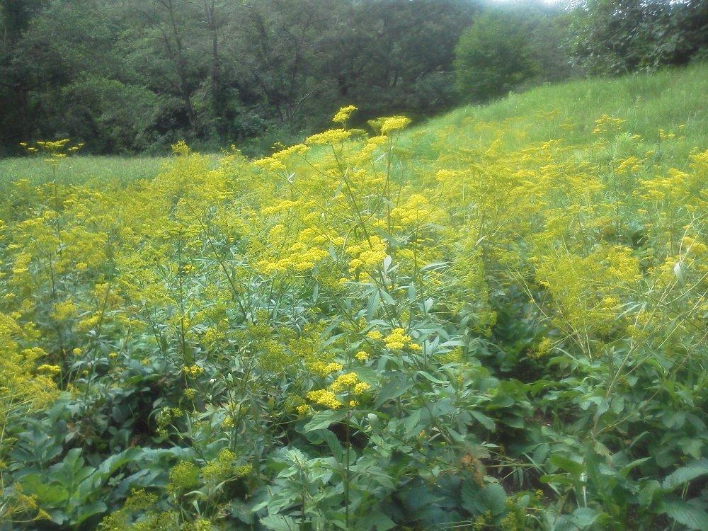 F1000444国営武蔵丘陵森林公園 秋の七草オミナエシ