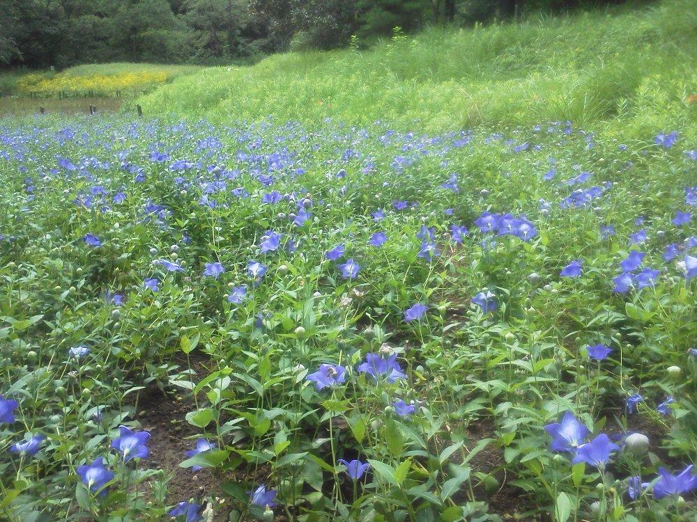 F1000440国営武蔵丘陵森林公園 秋の七草キキョウとオミナエシ