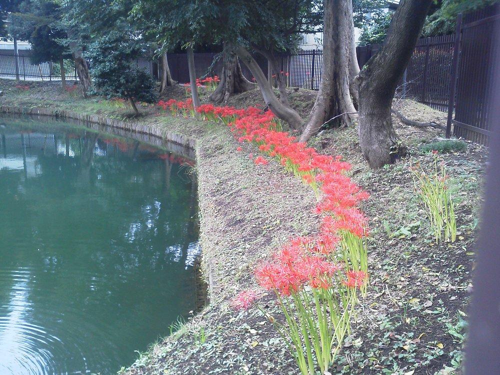 F1000540広沢の池のヒガンバナ