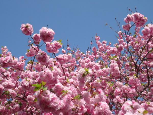 4/14 シラス丼と桜