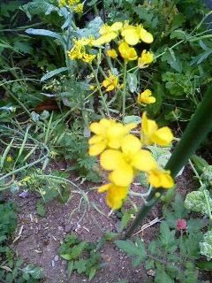 160503 菜の花