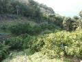 みかん山2