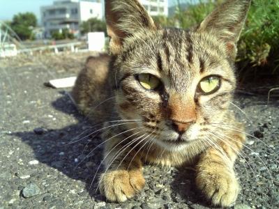 広島のあっかんべー猫1