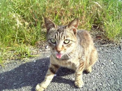 広島のあっかんべー猫3
