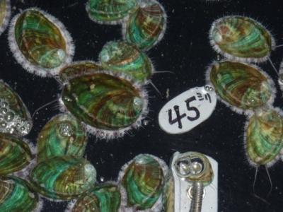 成長中のアワビ稚貝
