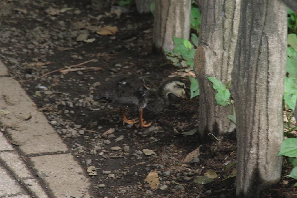 幼鳥がいるファミリー_2