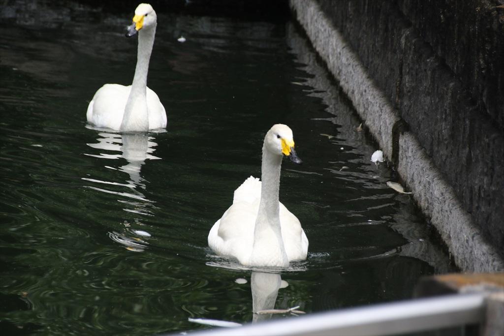 オオハクチョウ(大白鳥)とコハクチョウ(小白鳥)_2