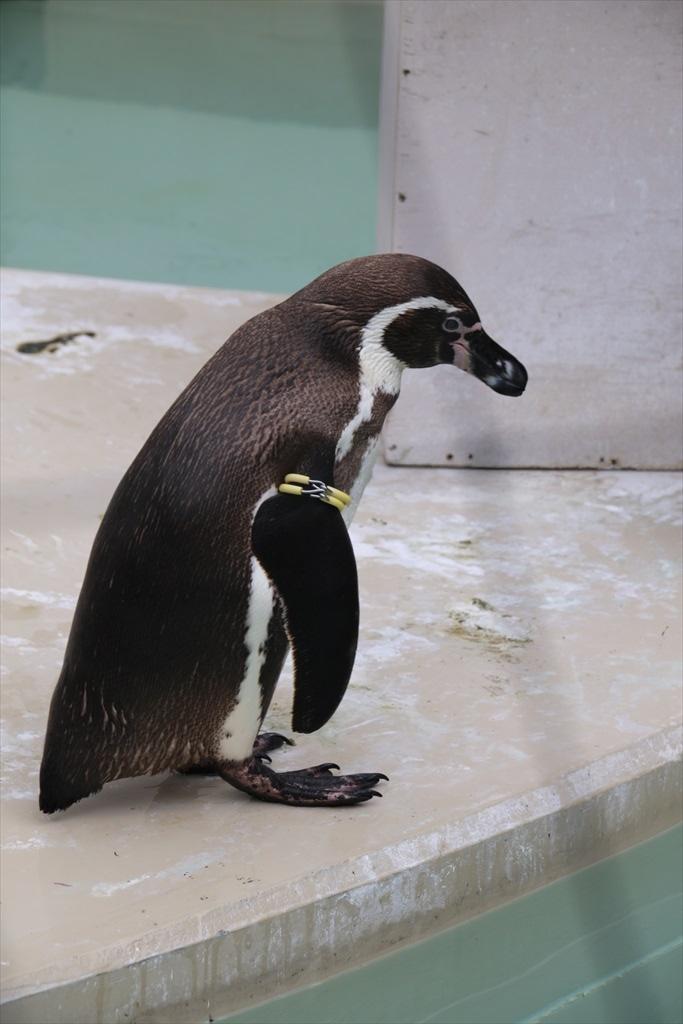 フンボルトペンギン_1