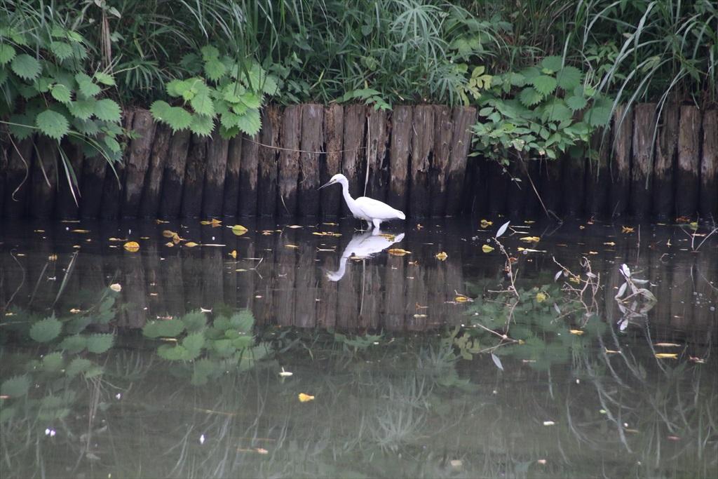 池にはコサギらしき鳥が