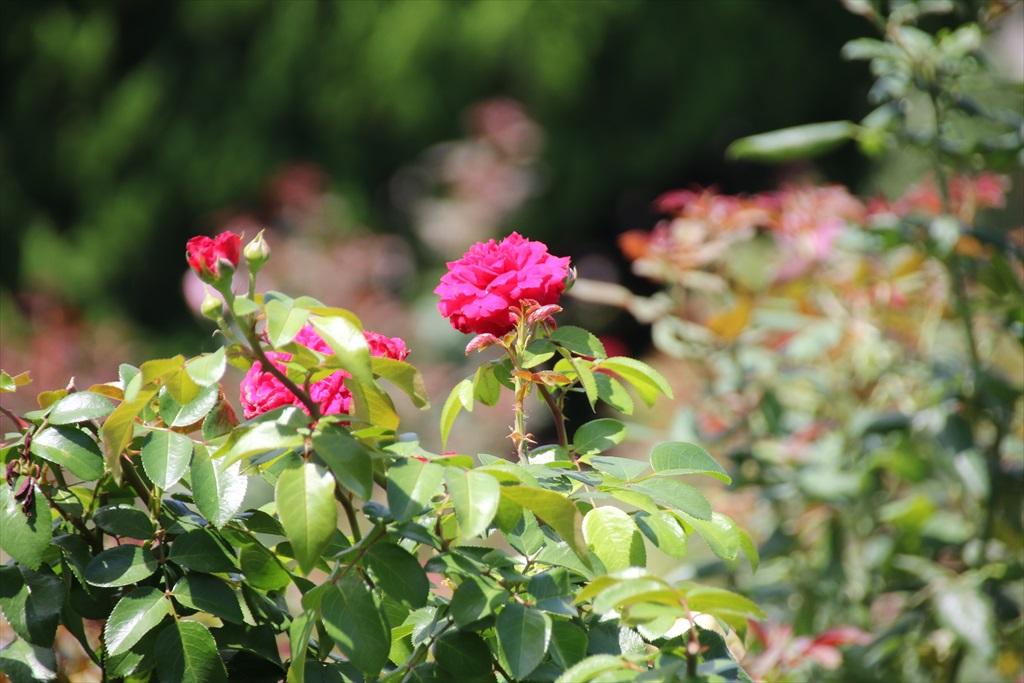 バラ園も彩りを添えている_1