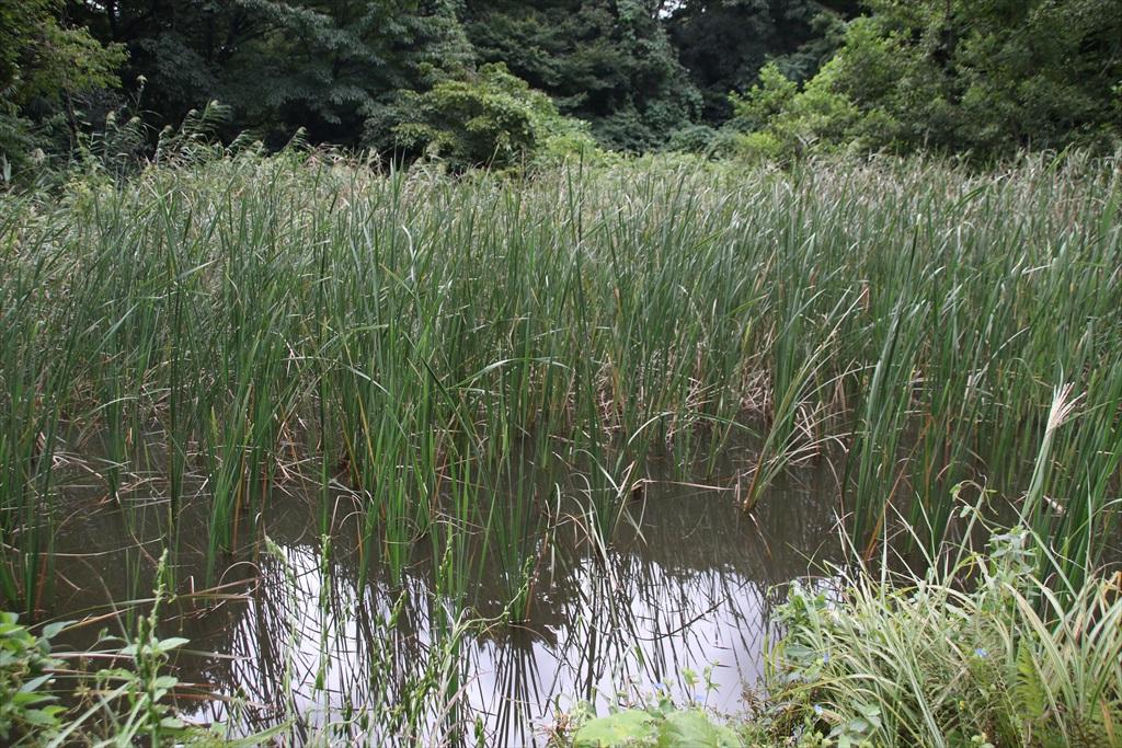 小さな沼及びその周辺は繁茂が盛りを迎えていた_2
