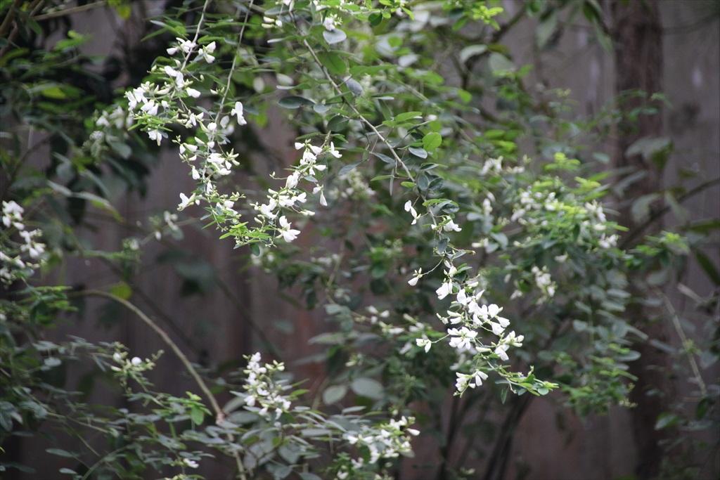 円覚寺境内の花さんたち_4