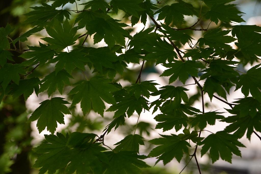 楓など_2