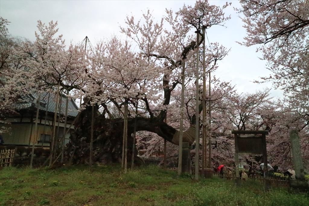 神代桜_4