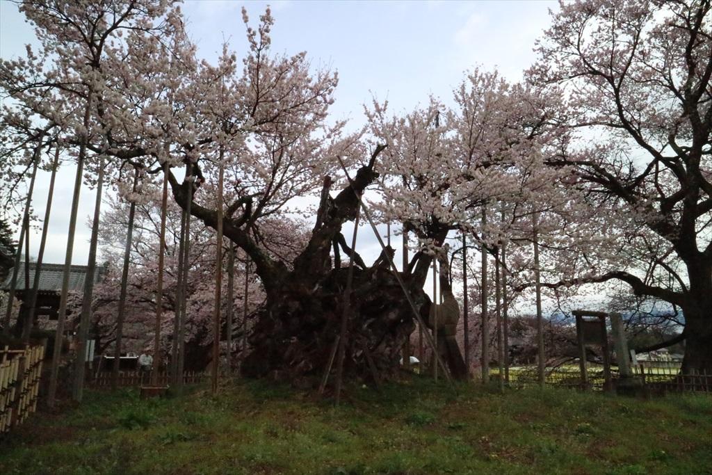 神代桜_5