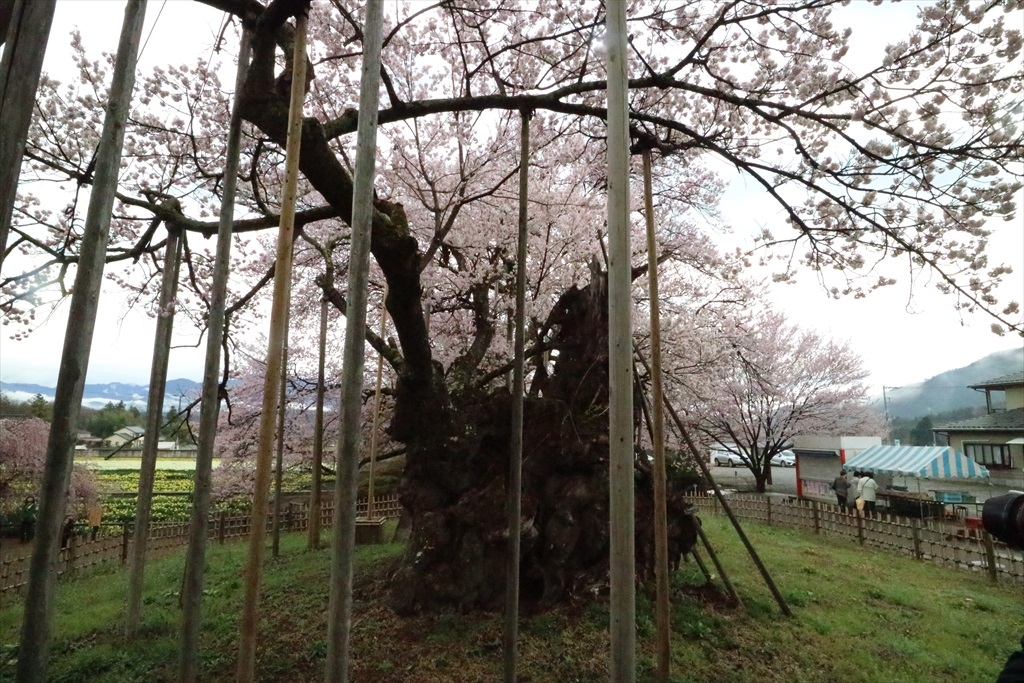 神代桜_6