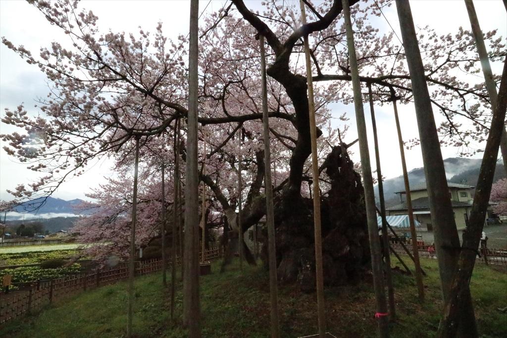 神代桜_7