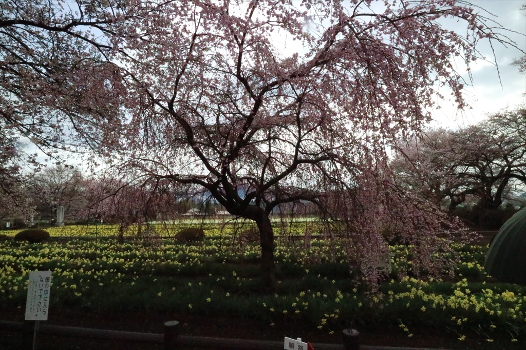 三春の滝桜の子桜_1