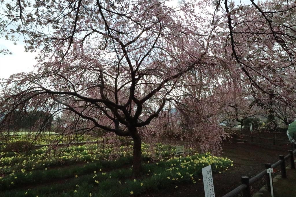 三春の滝桜の子桜_2