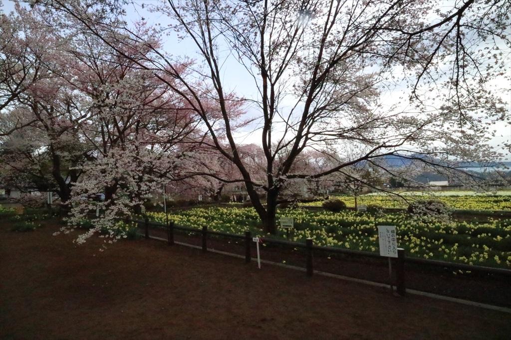 淡墨桜の子桜