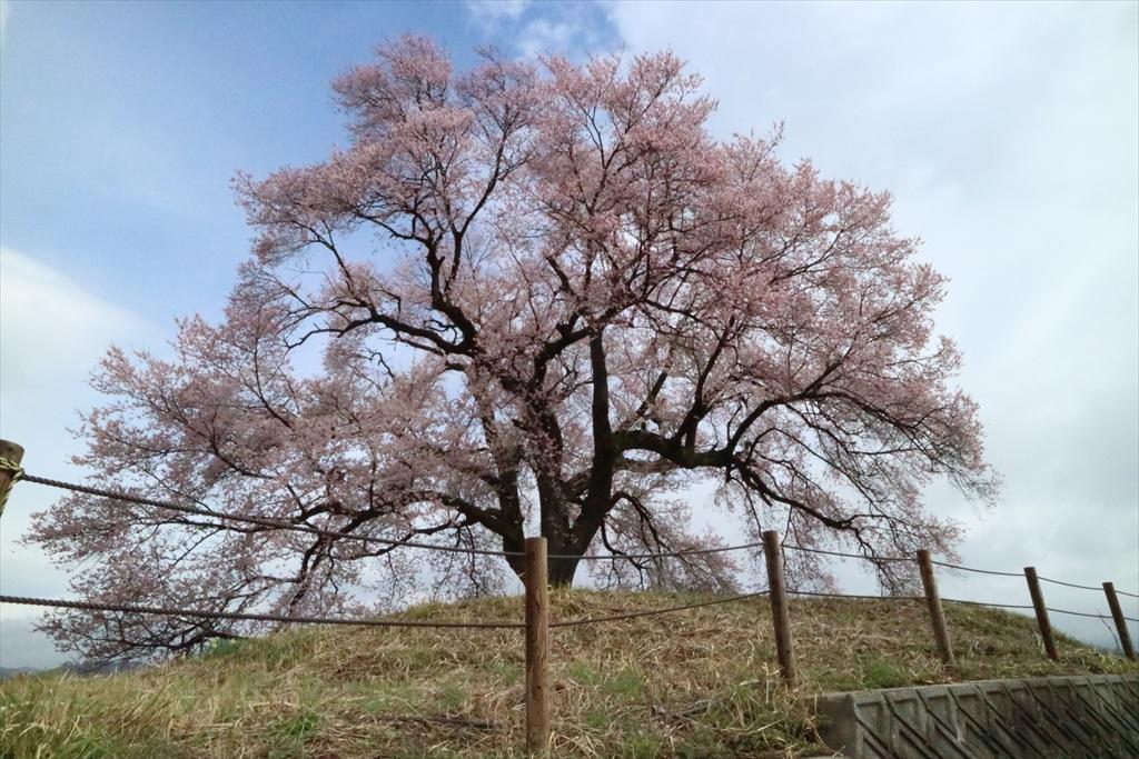 わに塚の桜_4