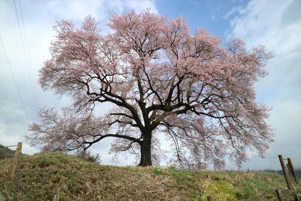 わに塚の桜_5